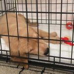 Puppy Crying in Crate When Left Alone